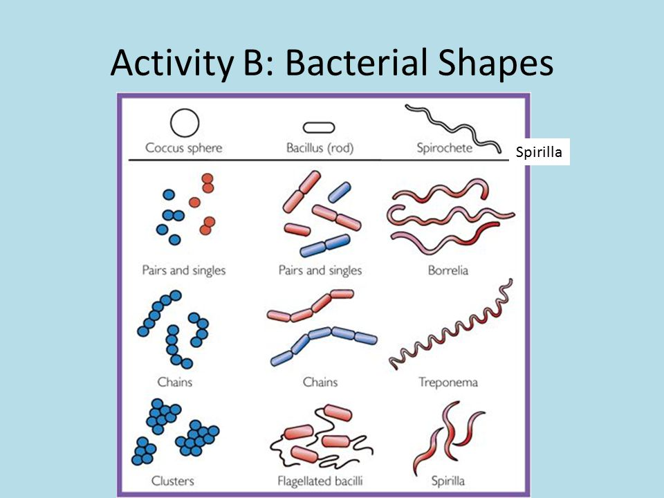 Activity B: Bacterial Shapes Spirilla