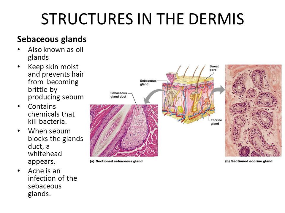 STRUCTURES IN THE DERMIS Sweat Glands Produce sweat which is acidic (pH 4-6) Inhibits bacteria and gets rid of excess heat