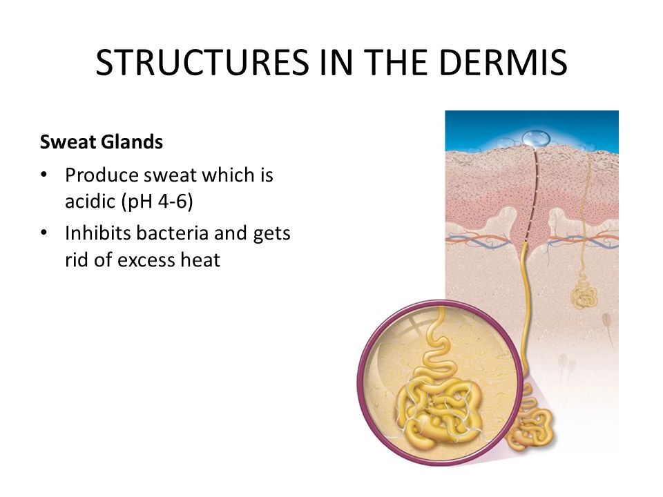STRUCTURES IN THE DERMIS Hair & the hair follicle Hair is produced by a hair follicle.