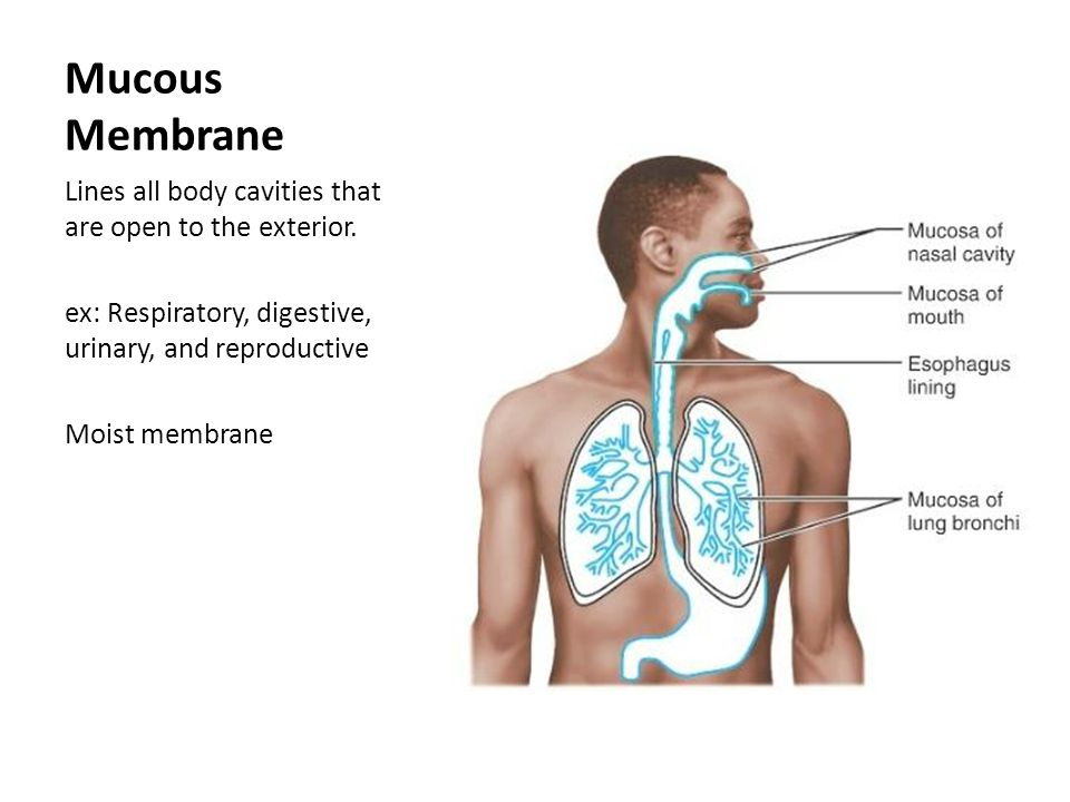 Body Cavity Linings Mucous Membrane Lines All Body
