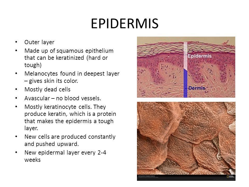 DERMIS Found under the epidermis (2 nd layer) Made up of dense connective tissue.