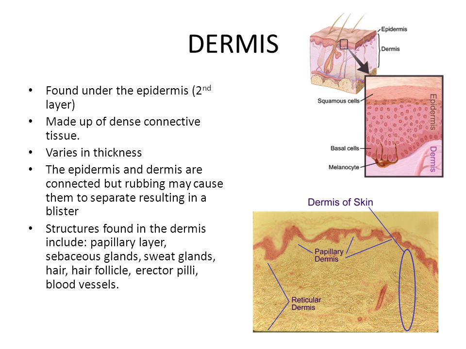 STRUCTURES IN THE DERMIS PAPILLARY LAYER Upper layer of the dermis.