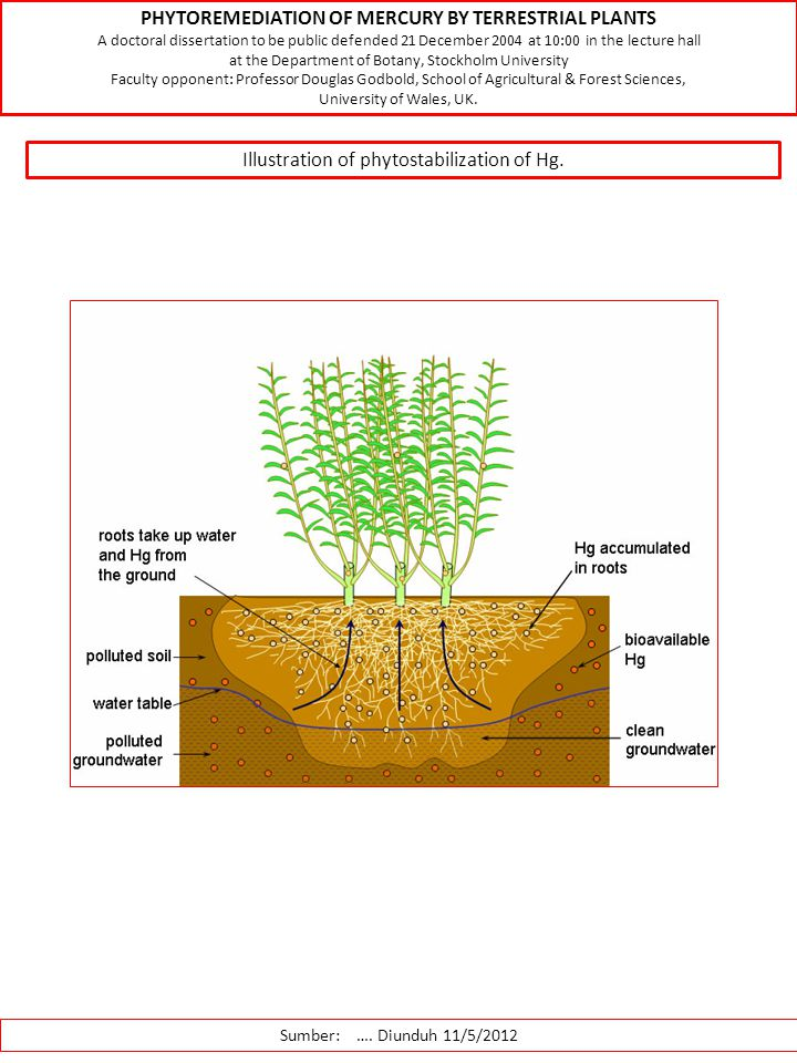 Sumber: …. Diunduh 11/5/2012 Illustration of phytostabilization of Hg. PHYTOREMEDIATION OF MERCURY BY TERRESTRIAL PLANTS A doctoral dissertation to be