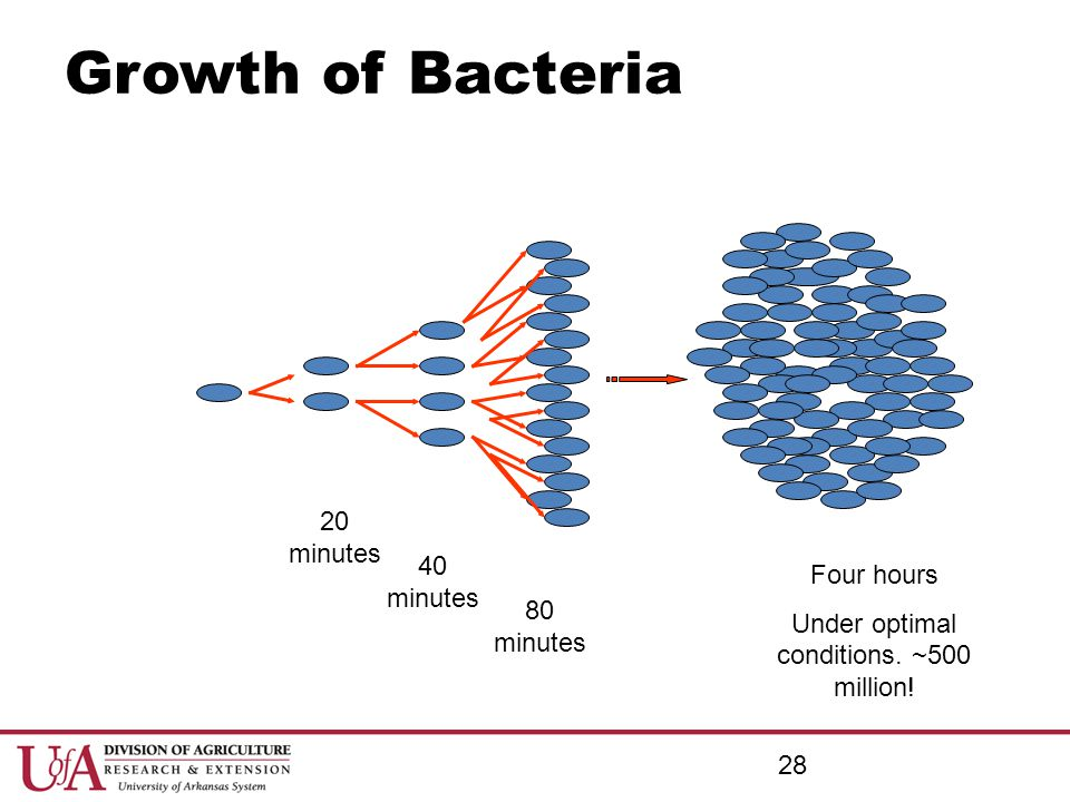 Growth of Bacteria 20 minutes 40 minutes Four hours Under optimal conditions. ~500 million! 80 minutes 28