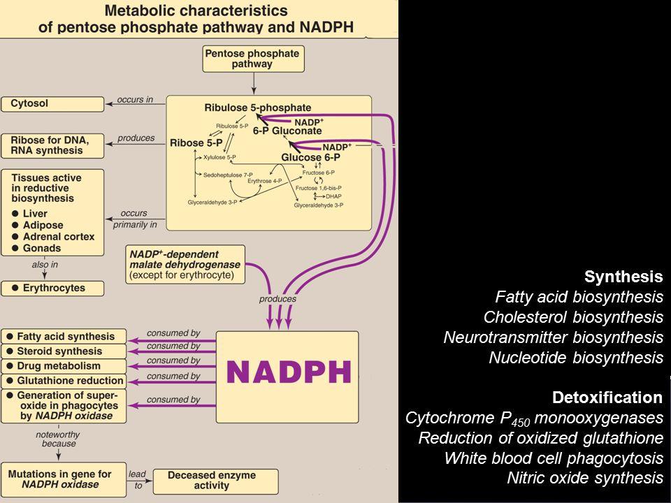Synthesis Fatty acid biosynthesis Cholesterol biosynthesis Neurotransmitter biosynthesis Nucleotide biosynthesis Detoxification Cytochrome P 450 monoo