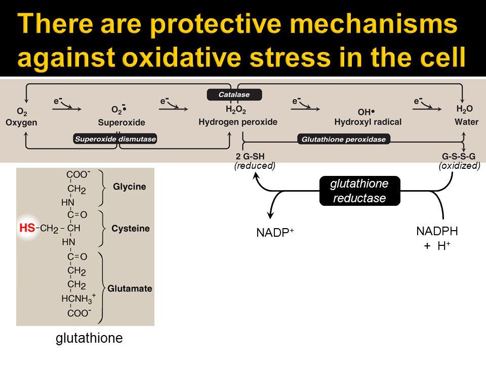glutathione (reduced) (oxidized) v NADPH + H + NADP + glutathione reductase