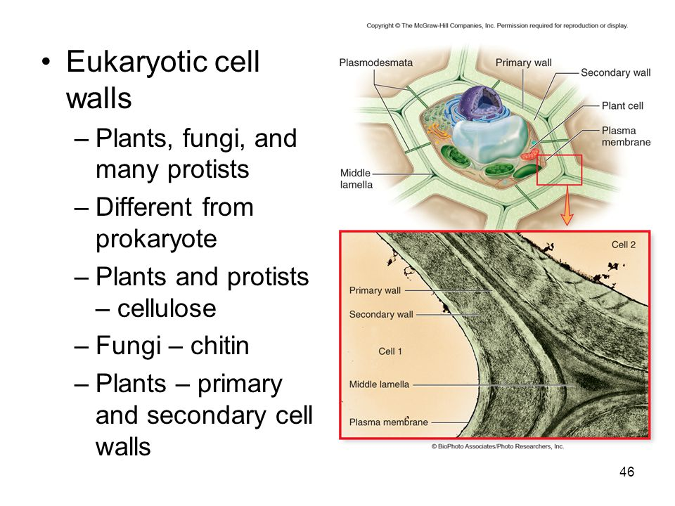 Eukaryotic cell walls –Plants, fungi, and many protists –Different from prokaryote –Plants and protists – cellulose –Fungi – chitin –Plants – primary and secondary cell walls 46
