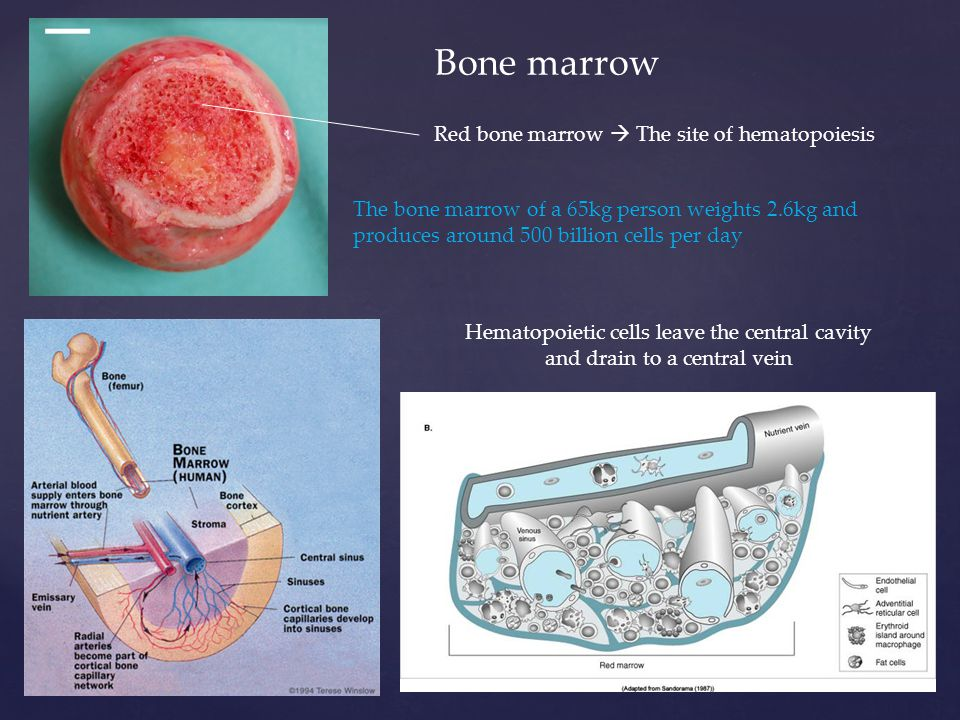 Bone marrow Hematopoietic cells leave the central cavity and drain to a central vein The bone marrow of a 65kg person weights 2.6kg and produces around 500 billion cells per day Red bone marrow  The site of hematopoiesis