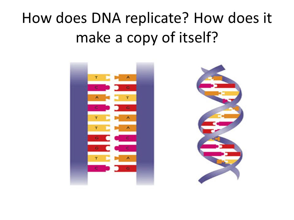 How does DNA replicate How does it make a copy of itself