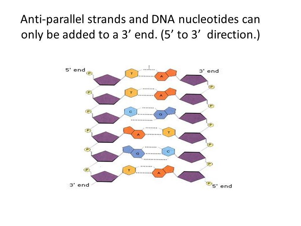 Anti-parallel strands and DNA nucleotides can only be added to a 3' end. (5' to 3' direction.)