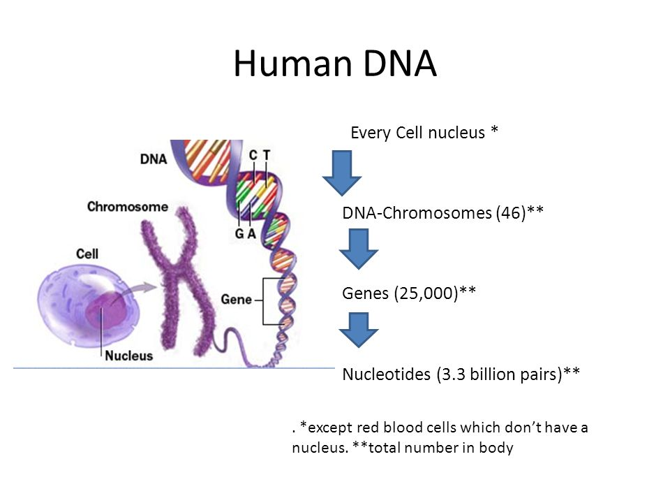 Human DNA Every Cell nucleus * DNA-Chromosomes (46)** Genes (25,000)** Nucleotides (3.3 billion pairs)**. *except red blood cells which don't have a n