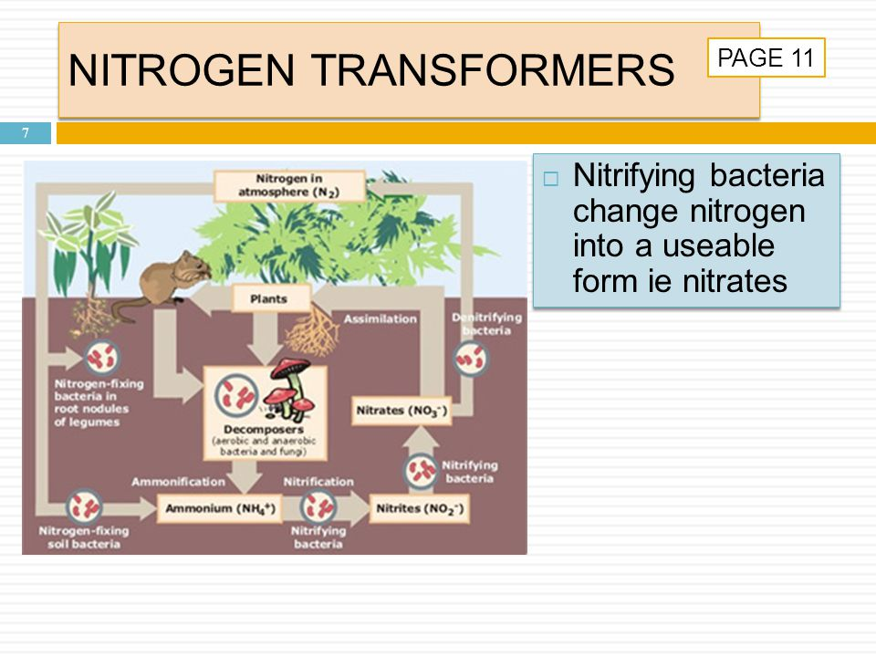 NITROGEN TRANSFORMERS 7  Nitrifying bacteria change nitrogen into a useable form ie nitrates PAGE 11