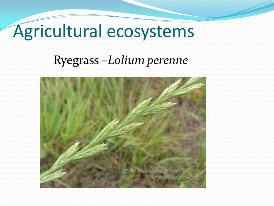 Agricultural ecosystems Ryegrass –Lolium perenne