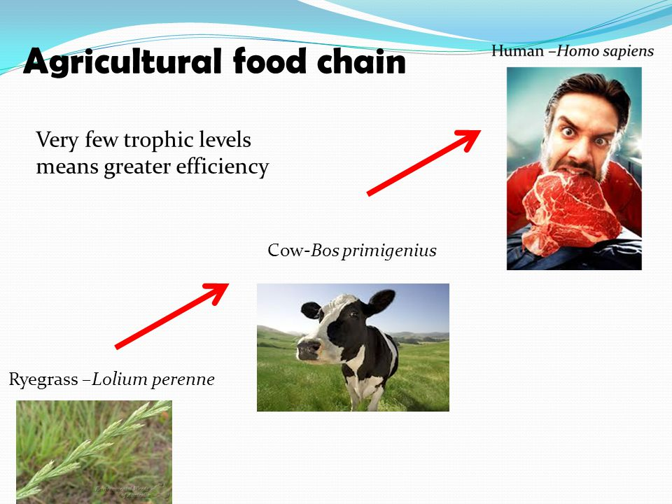 Ryegrass –Lolium perenne Cow-Bos primigenius Agricultural food chain Very few trophic levels means greater efficiency