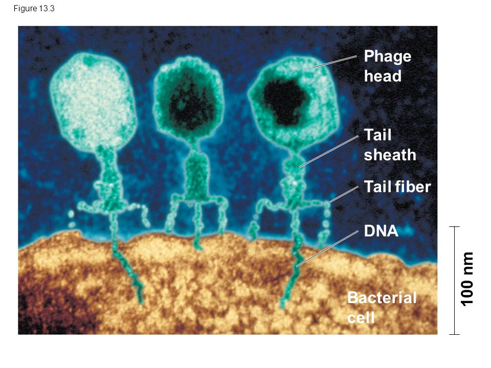 Figure 13.3 Phage head Tail sheath Tail fiber DNA Bacterial cell 100 nm