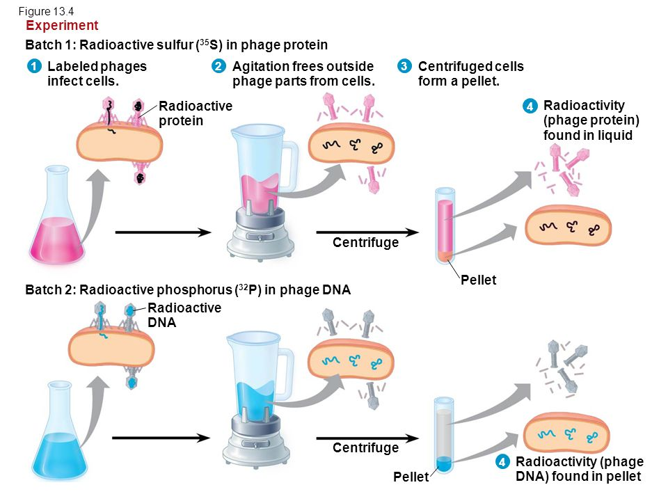 Figure 13.4 Labeled phages infect cells. Batch 1: Radioactive sulfur ( 35 S) in phage protein Experiment Agitation frees outside phage parts from cell