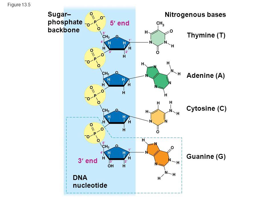 Figure 13.5 Sugar– phosphate backbone DNA nucleotide Nitrogenous bases 3 end 5 end Thymine (T) Adenine (A) Cytosine (C) Guanine (G)
