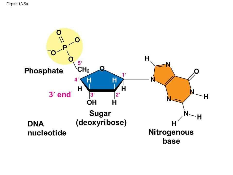 Figure 13.5a Phosphate DNA nucleotide Nitrogenous base 3 end Sugar (deoxyribose)