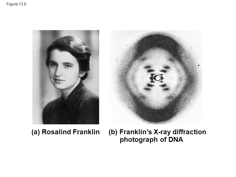 Figure 13.6 (b) Franklin's X-ray diffraction photograph of DNA (a) Rosalind Franklin