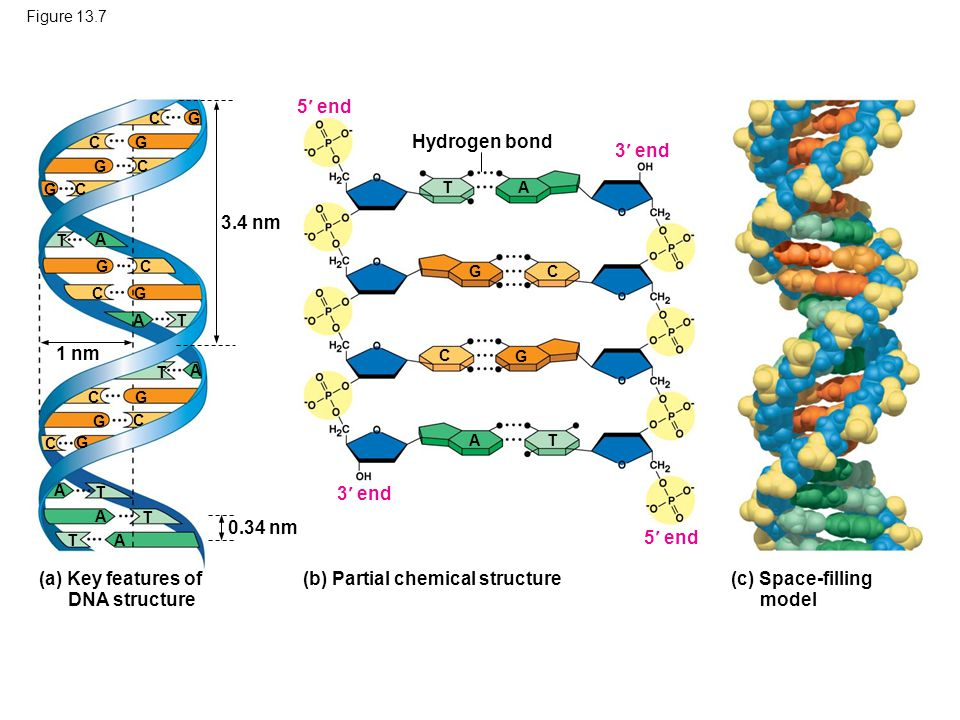 Figure 13.7 (c) Space-filling model (a) Key features of DNA structure (b) Partial chemical structure 3 end 5 end 3 end 5 end Hydrogen bond T A C G CG