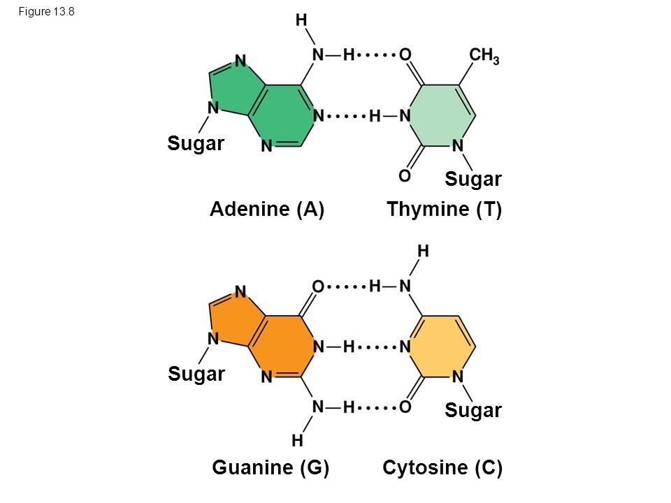 Figure 13.8 Sugar Thymine (T)Adenine (A) Cytosine (C) Guanine (G)