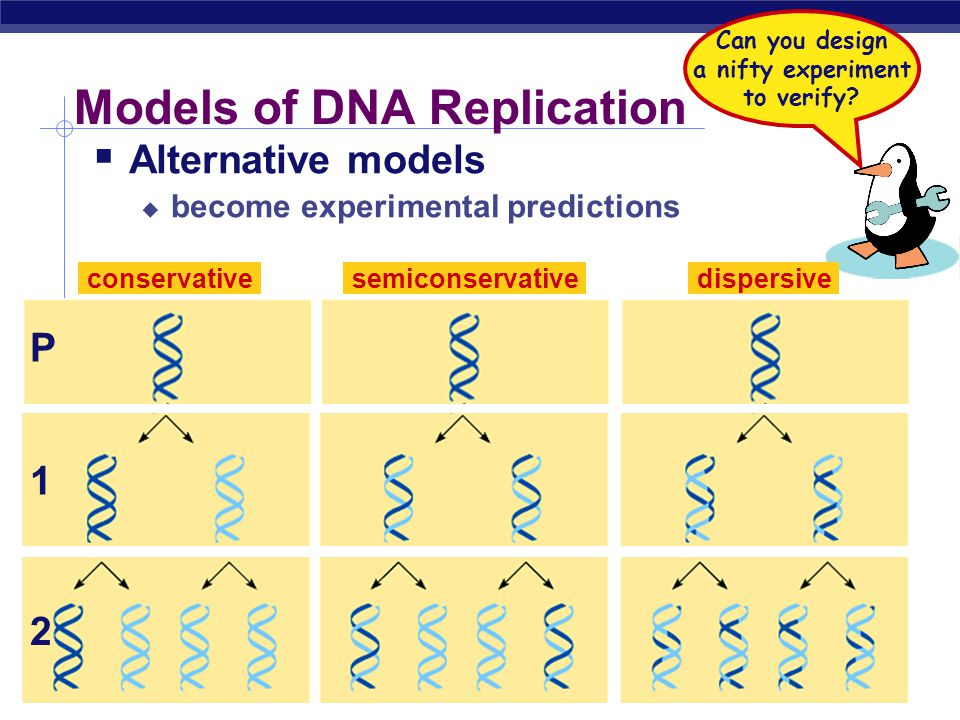 "AP Biology But how is DNA copied?  Replication of DNA  base pairing suggests that it will allow each side to serve as a template for a new strand ""I"
