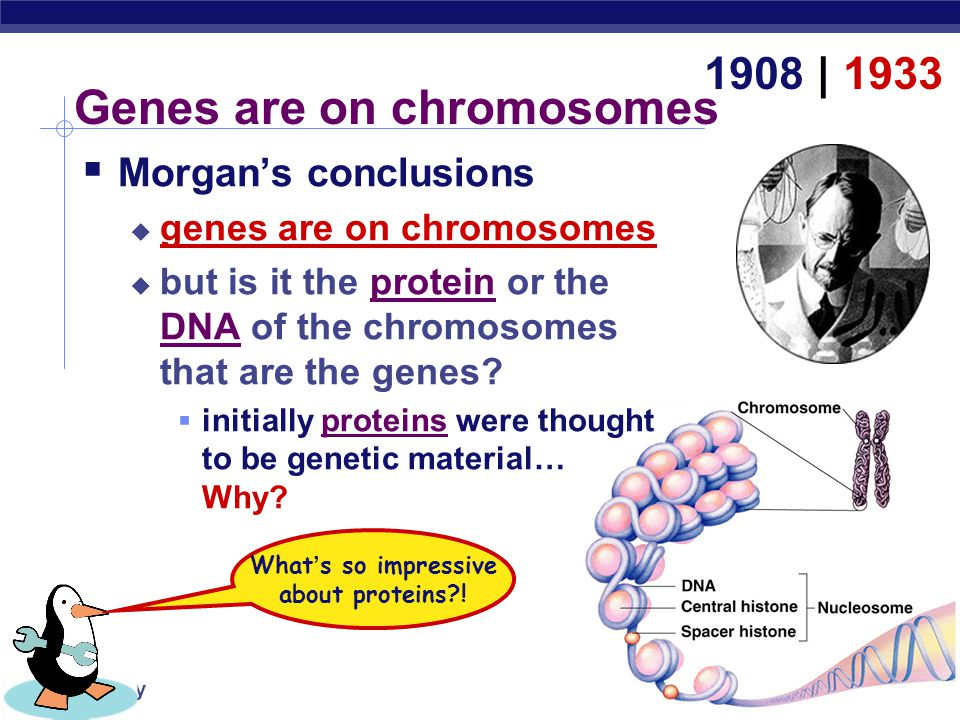 AP Biology Chargaff  DNA composition: Chargaff's rules  varies from species to species  all 4 bases not in equal quantity  bases present in characteristic ratio  humans: A = 30.9% T = 29.4% G = 19.9% C = 19.8% 1947 That ' s interesting.
