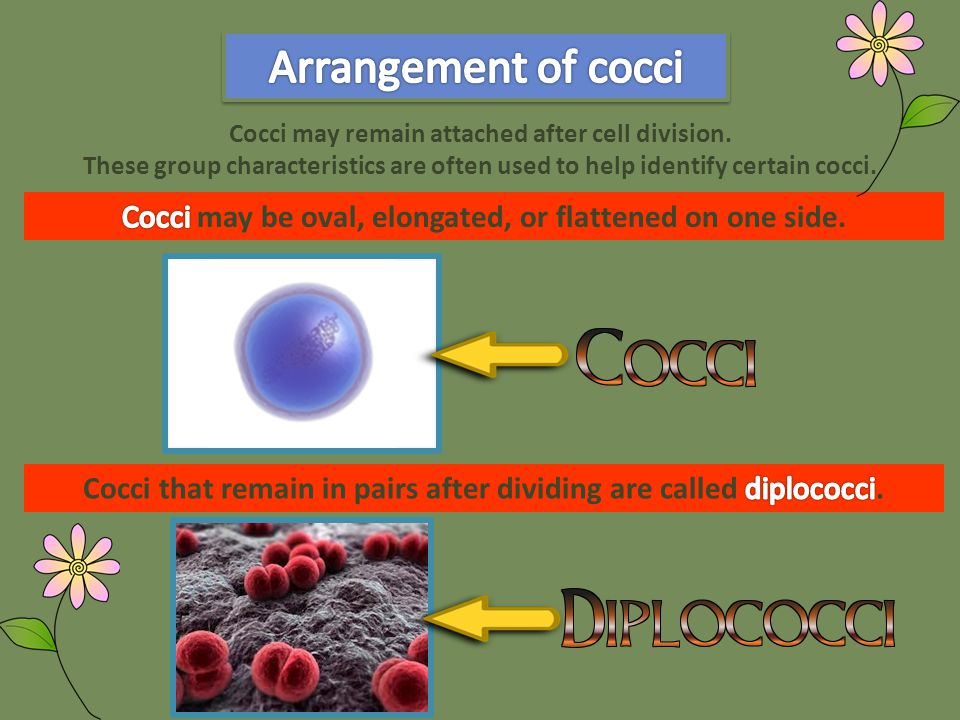 Cocci that remain in chains after dividing are called streptococci.