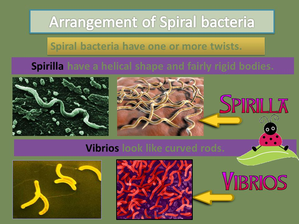 Spirochetes have a helical shape and flexible bodies.