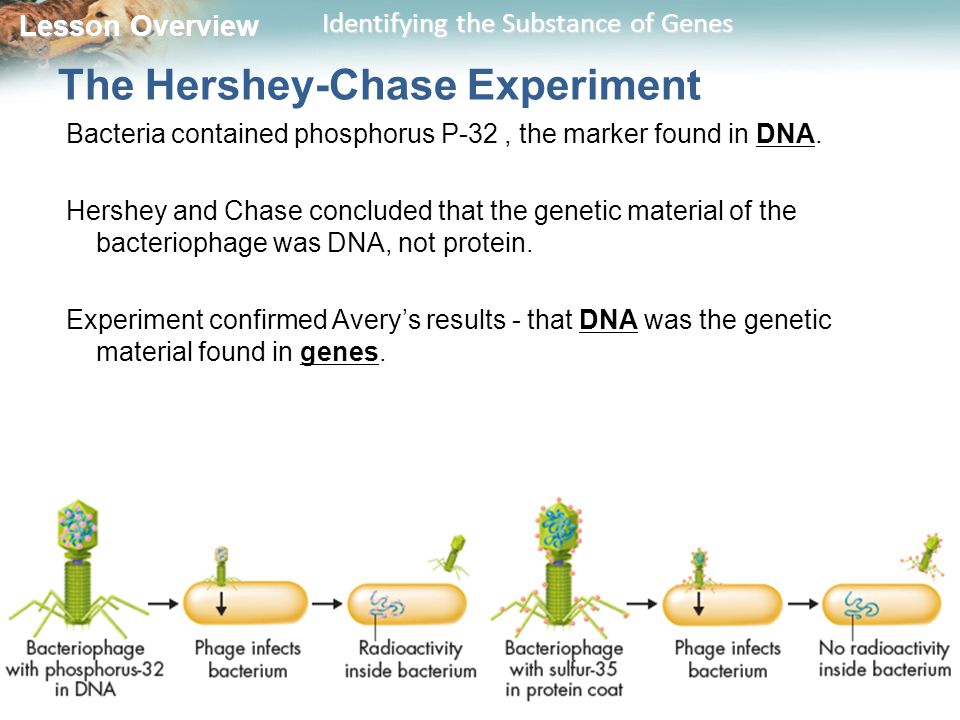 Lesson Overview Lesson Overview Identifying the Substance of Genes The Hershey-Chase Experiment Bacteria contained phosphorus P-32, the marker found i
