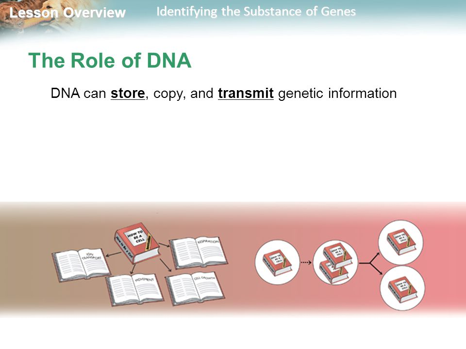 Lesson Overview Lesson Overview Identifying the Substance of Genes The Role of DNA DNA can store, copy, and transmit genetic information