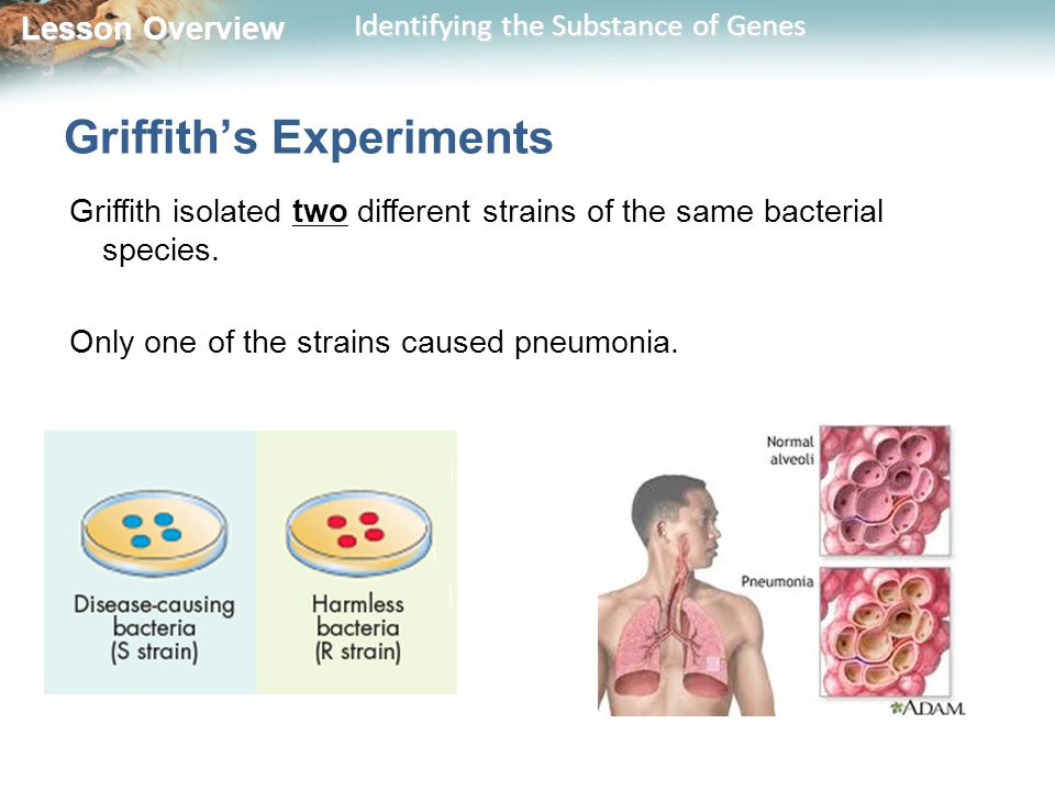 Lesson Overview Lesson Overview Identifying the Substance of Genes Griffith's Experiments Griffith isolated two different strains of the same bacteria