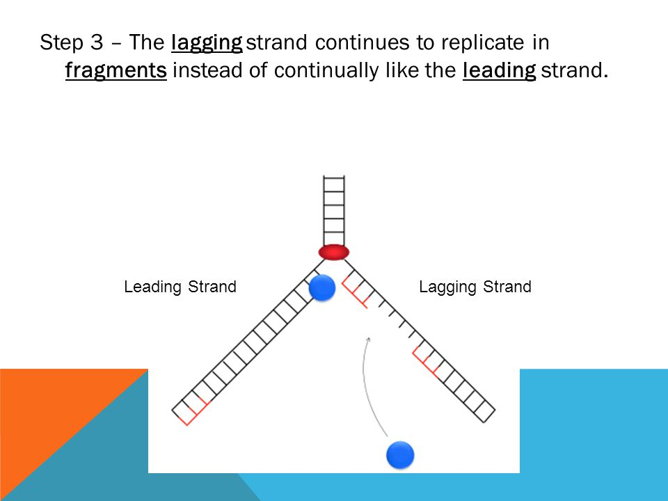 Step 3 – The lagging strand continues to replicate in fragments instead of continually like the leading strand. Leading StrandLagging Strand