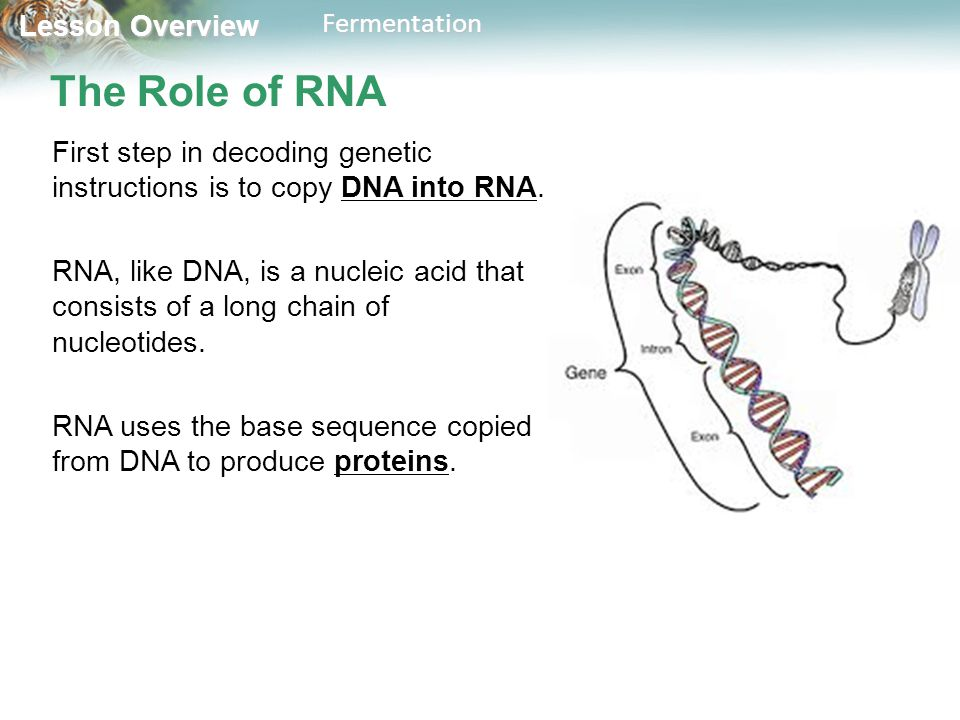 Lesson Overview Lesson OverviewFermentation The Role of RNA First step in decoding genetic instructions is to copy DNA into RNA. RNA, like DNA, is a n