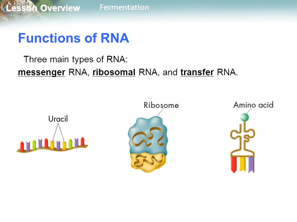 Lesson Overview Lesson OverviewFermentation Functions of RNA Three main types of RNA: messenger RNA, ribosomal RNA, and transfer RNA.