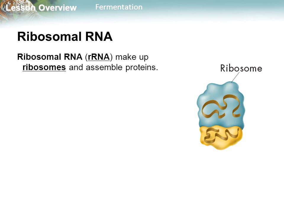 Lesson Overview Lesson OverviewFermentation Ribosomal RNA Ribosomal RNA (rRNA) make up ribosomes and assemble proteins.