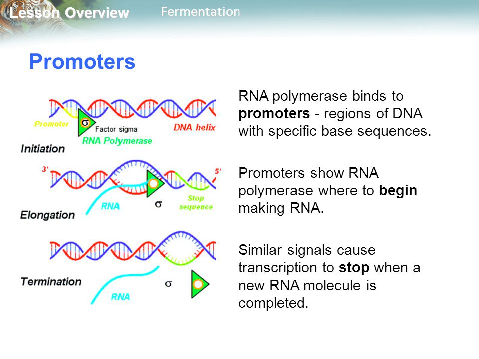 Lesson Overview Lesson OverviewFermentation Promoters RNA polymerase binds to promoters - regions of DNA with specific base sequences. Promoters show
