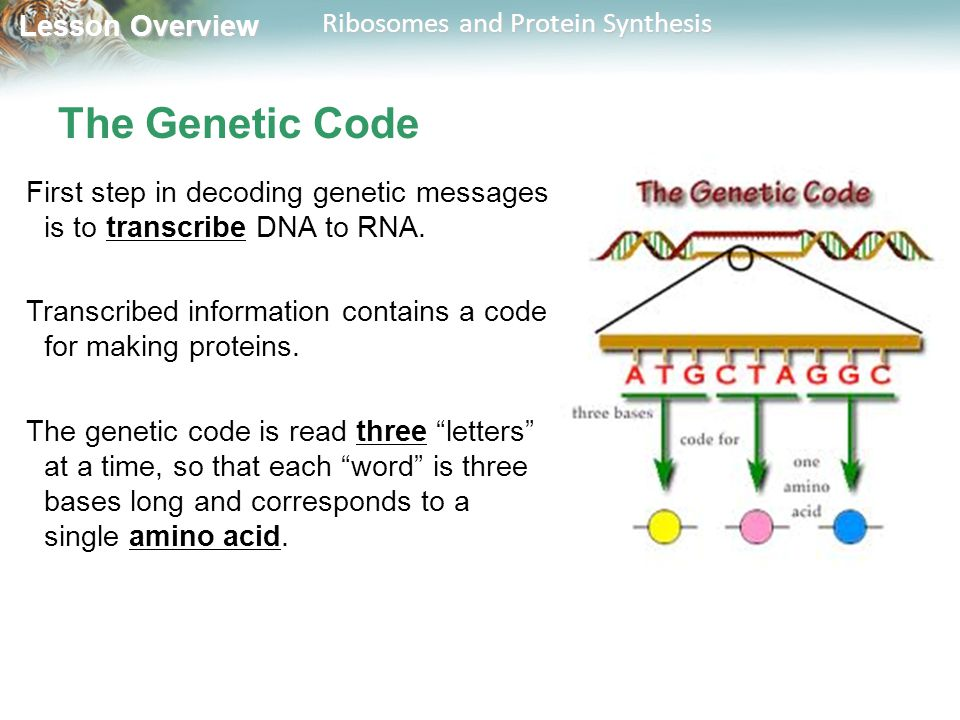 Lesson Overview Lesson Overview Ribosomes and Protein Synthesis The Genetic Code First step in decoding genetic messages is to transcribe DNA to RNA.