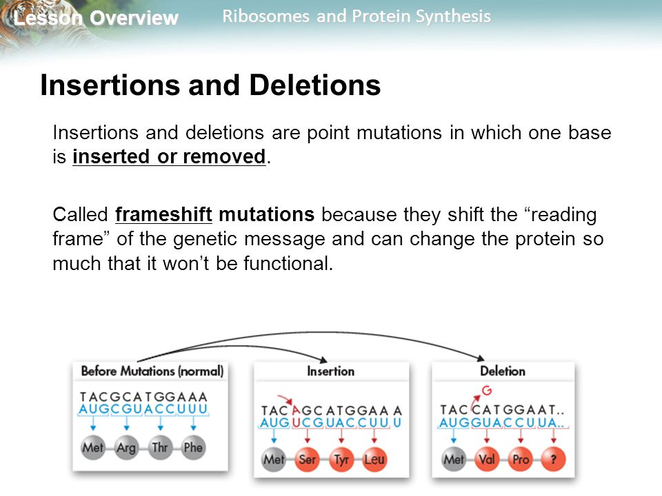 Lesson Overview Lesson Overview Ribosomes and Protein Synthesis Insertions and Deletions Insertions and deletions are point mutations in which one bas