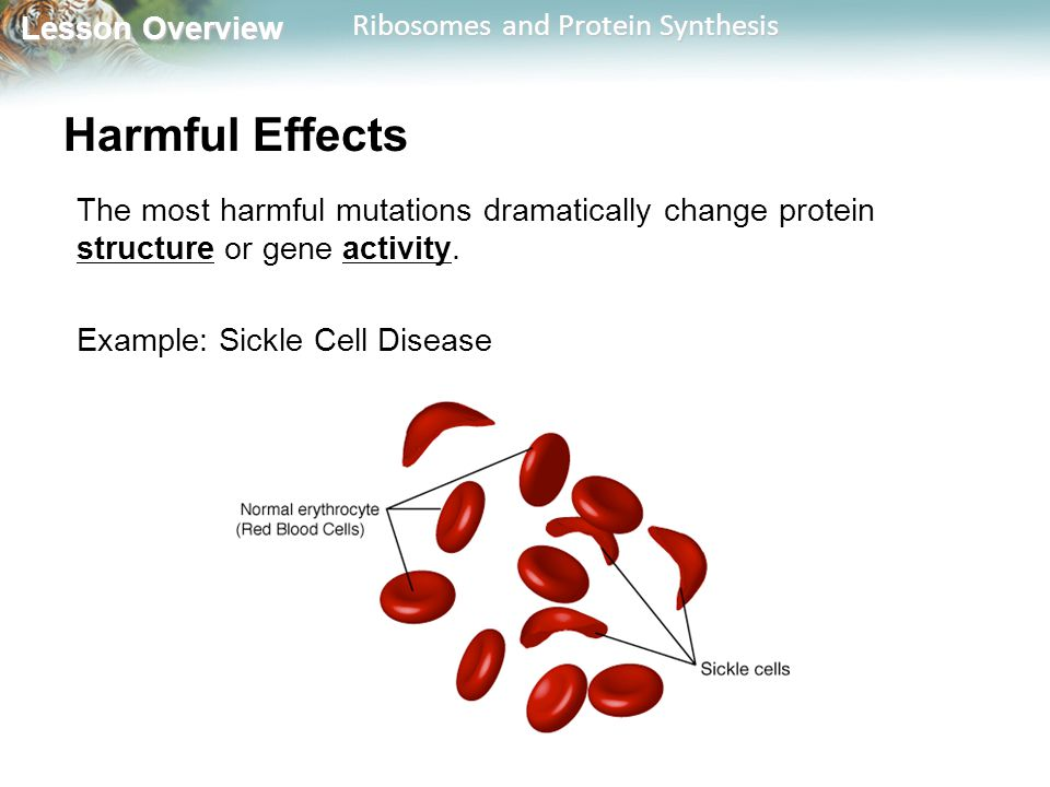 Lesson Overview Lesson Overview Ribosomes and Protein Synthesis Harmful Effects The most harmful mutations dramatically change protein structure or ge