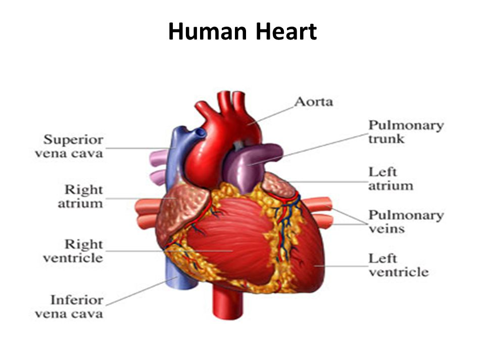Early Development: The human embryonic heart (EHR) begins beating at approximately 21 days after conception, or five weeks after the last normal menstrual period (LMP), which is the date normally used to date pregnancy.