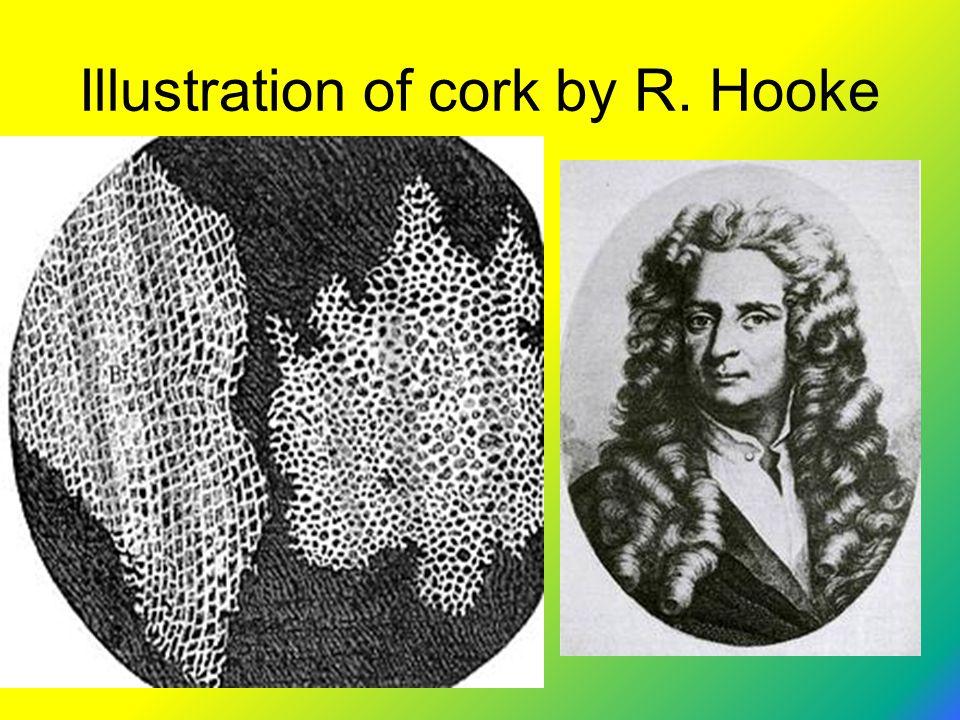 Illustration of cork by R. Hooke