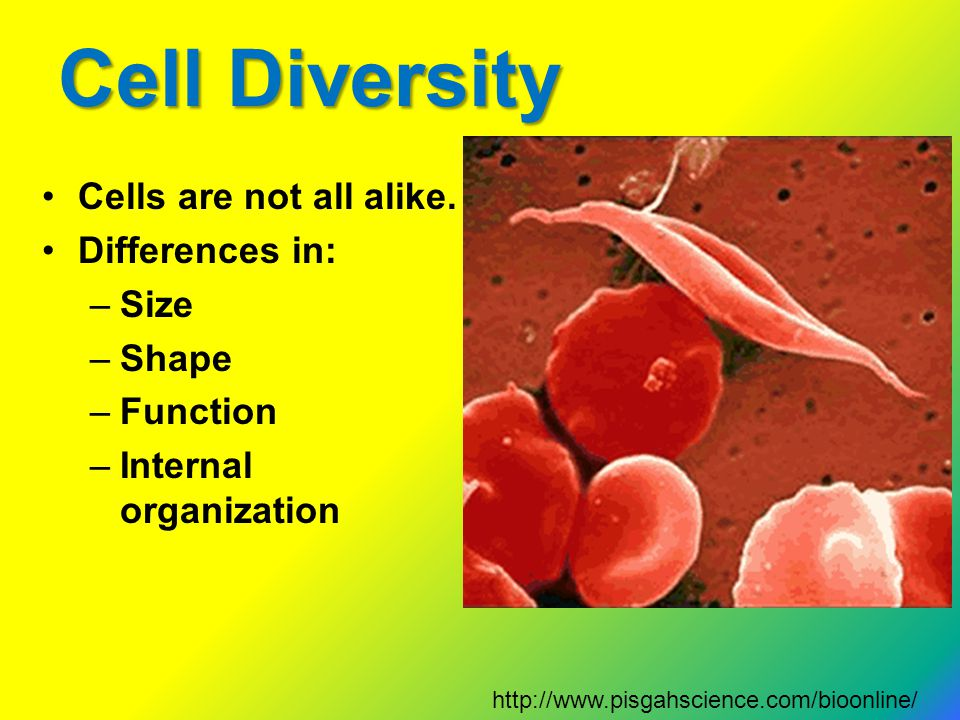 Cell Diversity Cells are not all alike. Differences in: –Size –Shape –Function –Internal organization http://www.pisgahscience.com/bioonline/