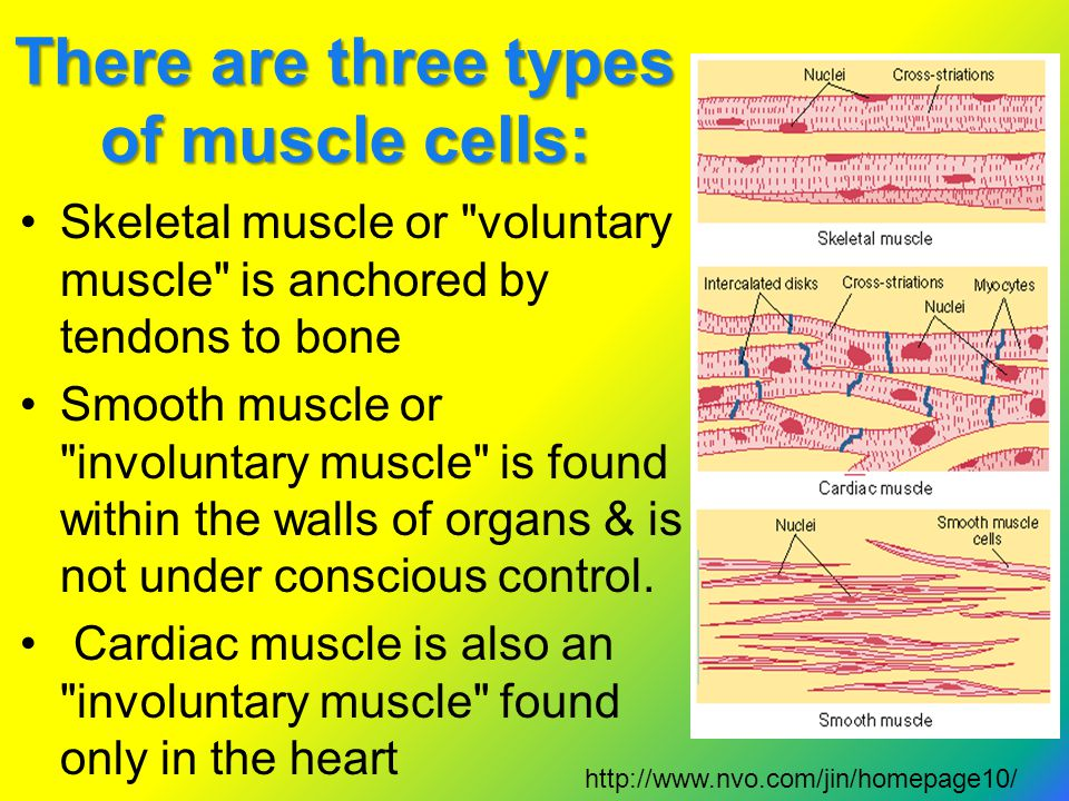 There are three types of muscle cells: Skeletal muscle or