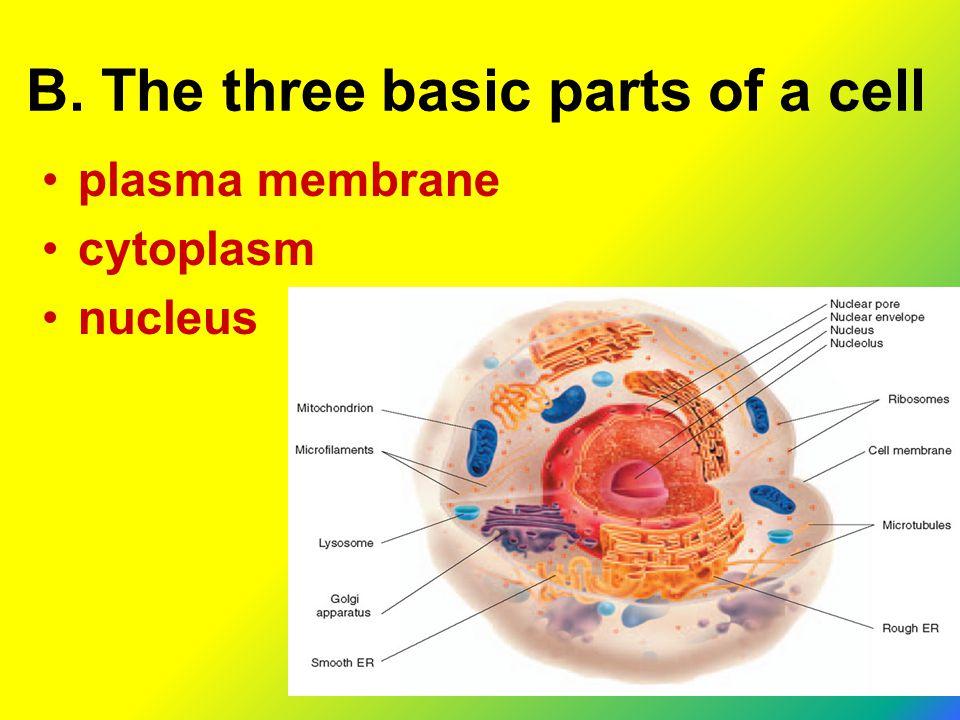 B. The three basic parts of a cell plasma membrane cytoplasm nucleus