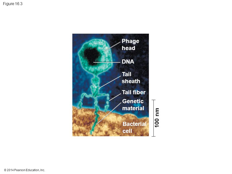 © 2014 Pearson Education, Inc. Figure 16.3 Phage head DNA Tail sheath Tail fiber Genetic material Bacterial cell 100 nm