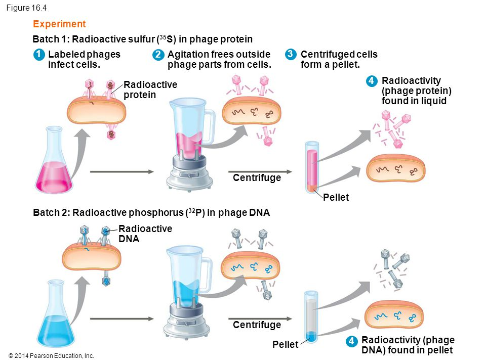 © 2014 Pearson Education, Inc. Figure 16.4 Experiment Batch 1: Radioactive sulfur ( 35 S) in phage protein Batch 2: Radioactive phosphorus ( 32 P) in