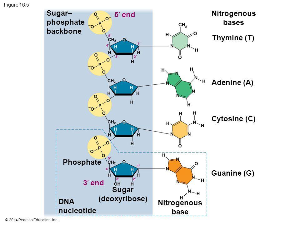 © 2014 Pearson Education, Inc. Figure 16.5 5′ end Thymine (T) Adenine (A) Cytosine (C) Guanine (G) Nitrogenous bases Sugar– phosphate backbone 3′ end