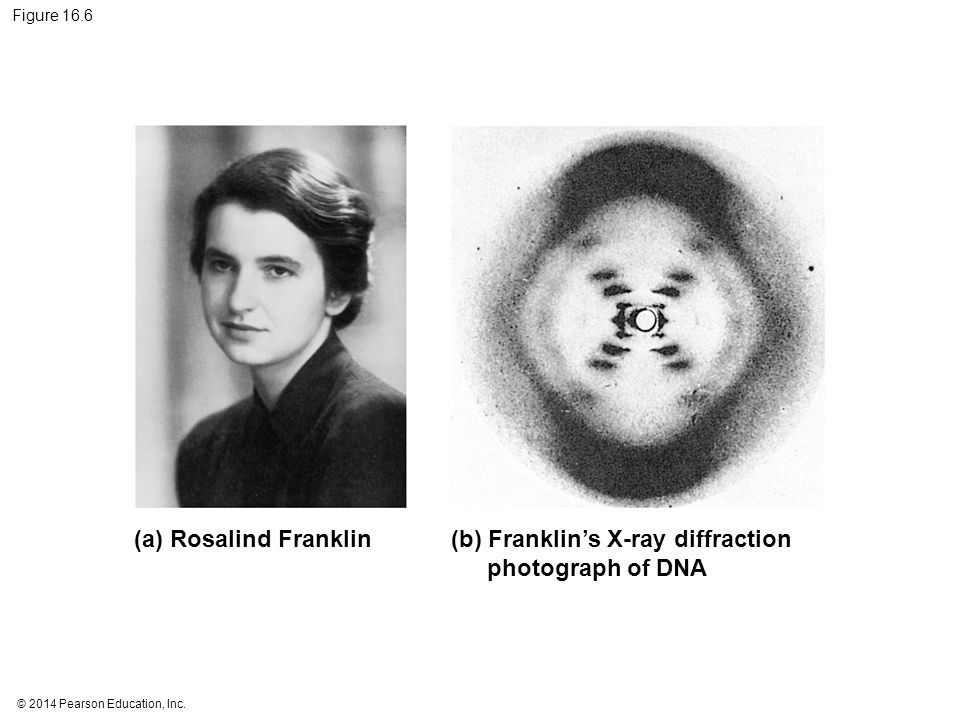 © 2014 Pearson Education, Inc. Figure 16.6 (a) Rosalind Franklin(b) Franklin's X-ray diffraction photograph of DNA