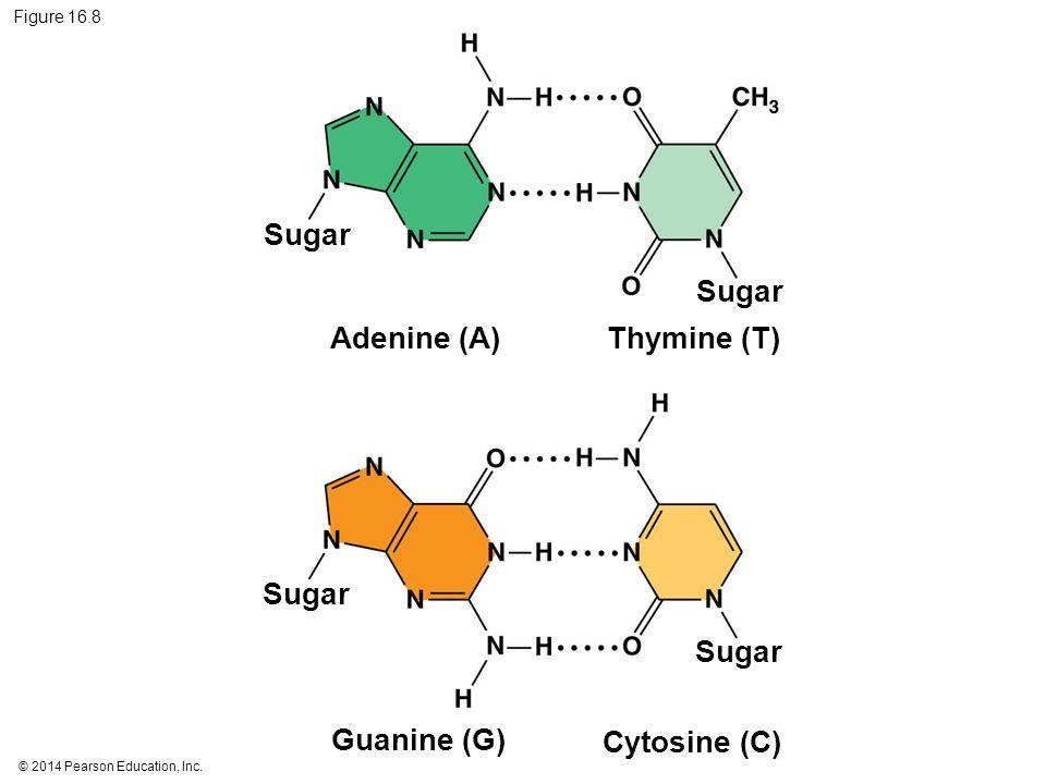 © 2014 Pearson Education, Inc. Figure 16.8 Sugar Adenine (A) Sugar Thymine (T) Cytosine (C) Guanine (G)